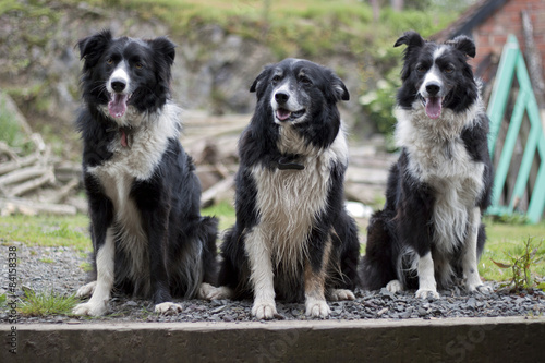 Canvas Three Border Collies