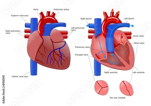 anatomia del cuore e sua sezione Canvas Print