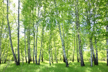 Fototapetabirch forest