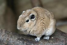 Gundi Or Comb Rat
