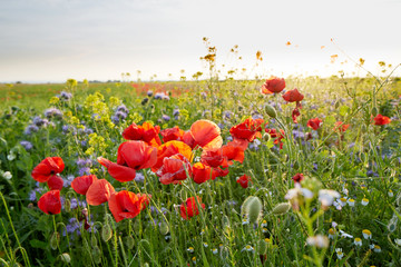 Obraz na Szkle Meadow full of wild flowers at sunset