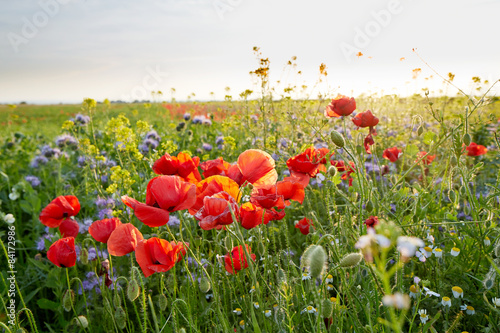 Meadow full of wild flowers at sunset - 84172986