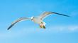 Leinwandbild Motiv Möwe im Flug bei sonnigem Wetter