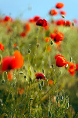 Fototapetapoppies field