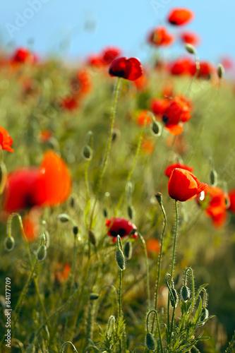 poppies field - 84177709