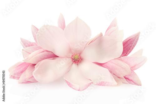 Plakat Magnolia, różowa wiosna kwitnie i pączki na bielu, ścinek ścieżka