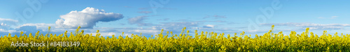 Poster Bleu yellow rapeseed plants on blue sky