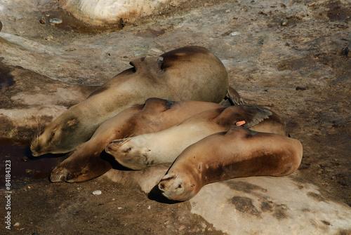 Fototapety, obrazy: Four Sea Lions Resting