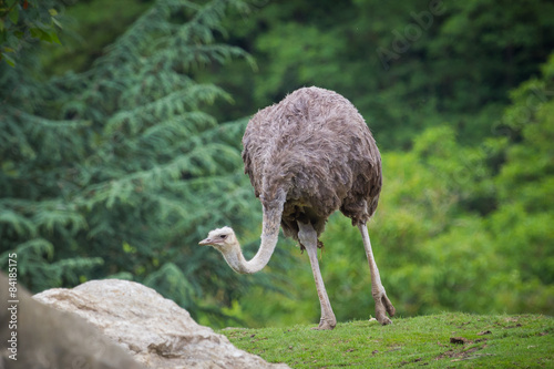 Wall Murals Ostrich Ostrich walking