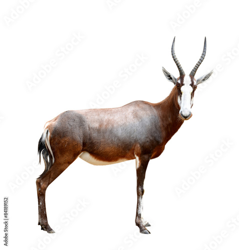 Photo sur Aluminium Antilope blesbok antelopes (Damaliscus pygargus)