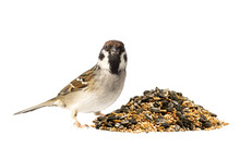 Tree Sparrow And A Pile Of Bird Seed On White Background