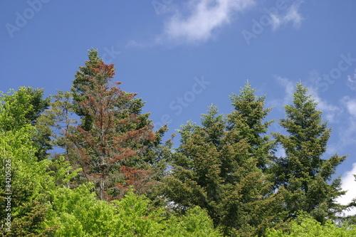 Fototapeta Leśne drzewa