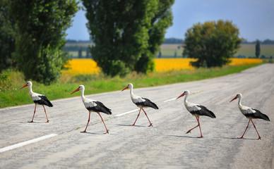 Fototapeta storks