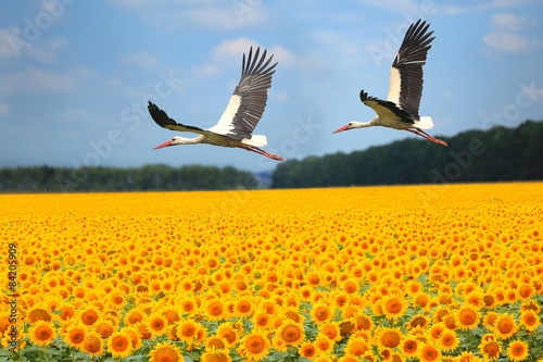 Obraz Dwa bociany nad polem słoneczników - fototapety do salonu