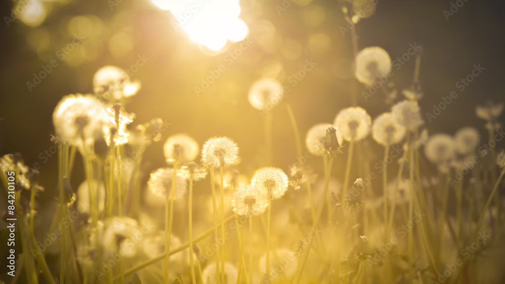 Fototapety, obrazy: De-focused dandelion background