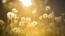 De-focused Dandelion Background