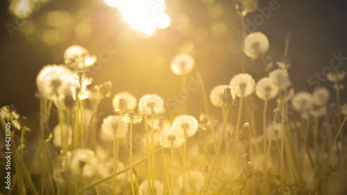 De-focused dandelion background