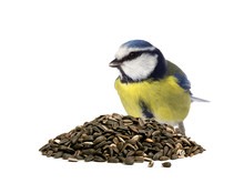 Blue Tit Behind A Pile Of Sunflower Seeds On White Background