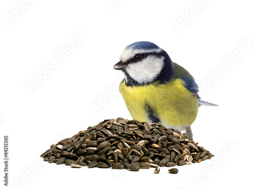 Fotografía  Blue tit behind a pile of sunflower seeds on white background