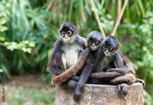 Photo sur Toile Singe Spider monkey