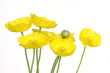 Yellow Poppies, Isolated