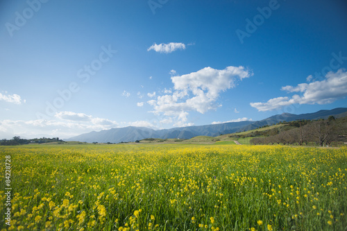 Photo  Mustard Blossoms in a California Spring