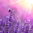 canvas print picture Bee on lavender