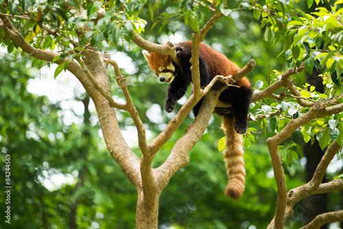 Fotografie, Tablou 木の上のレッサーパンダ