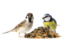 Tree Sparrow And Blue Tit With...