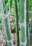 Bambusy w tropikalnym lesie