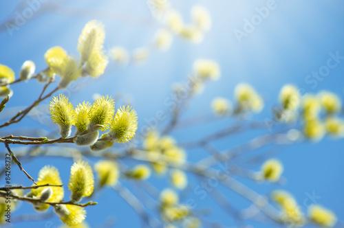 kwitnaca-galaz-wierzba-na-tle-pogodnego-nieba