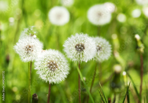 Fototapety, obrazy: Meadow of Dandelions. Summer background.