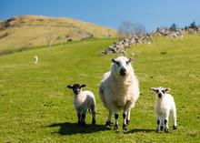 Sheep And Lambs In Welsh Mount...