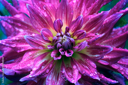 Spoed Foto op Canvas Dahlia Fairy flower dahlia in raindrops close up.