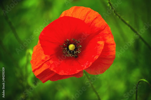 Papiers peints Poppy Wild Red Poppy Flower