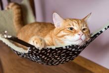 Red Cat Lying In A Hammock