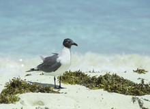 A Laughing Gull On The White S...