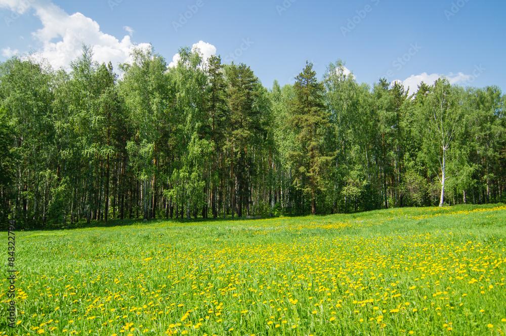 Fototapeta поляна с одуванчиками и лесом