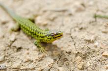 Cominotto Maltese Wall Lizard