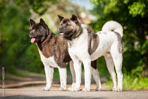 Two american akita dogs Canvas Print