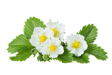 Flowers Of Wild Strawberry