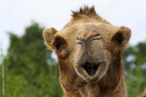 Recess Fitting Camel Kameel verteld.