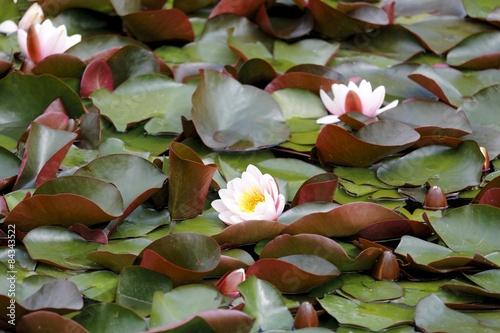 Deurstickers Waterlelies Seerose im Wasser