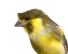 Cute Canary Bird