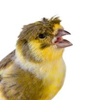 Crested Canary Bird