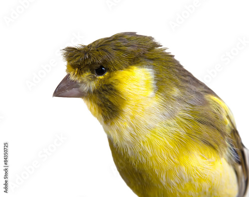 Fotografia  Cute canary bird