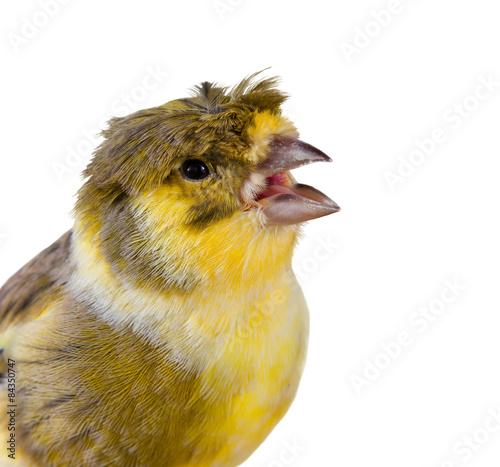 Fotografia  crested canary bird