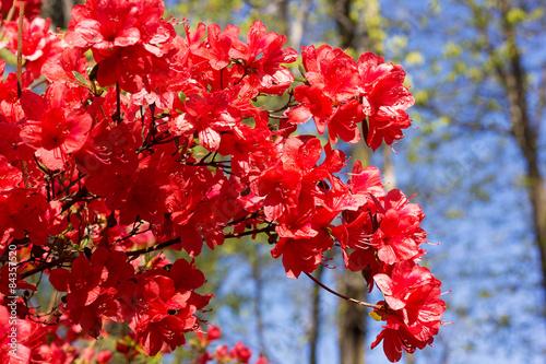Papiers peints Azalea Branch of a red azalea bush after rain.