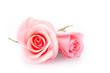 Leinwandbild Motiv pink rose flower on white background