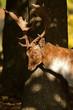 male deer in sun shine